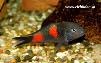 Tropheus sp. Bulu point - Kirschfleck