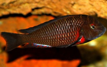 Tropheus sp. Lunangwe south